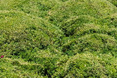 Green foliage. Background. Royalty Free Stock Photography