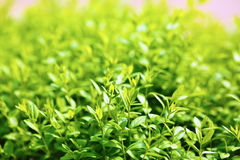 Green foliage background Royalty Free Stock Photo
