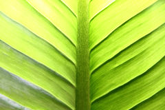 Green Foliage Background. Green leaf background with light coming from behind Royalty Free Stock Image