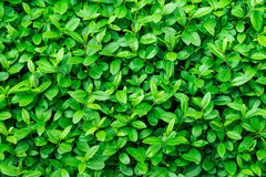 Green foliage background, leaf texture, bush, bright vibrant colors, seamless backdrop template, summer, spring. Closeup Royalty Free Stock Photos
