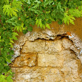 Green foliage on  background of ruined stone wall Stock Photography