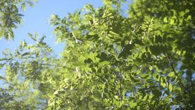 Green foliage of black locust. Robinia pseudoacacia. Robinia pseudoacacia. Green foliage of black locust twig with fresh, green, lush, vibrant foliage in spring stock video