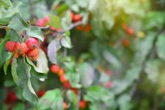 Green foliage bokeh background with branch of red paradise apple. Green foliage bokeh background with branch of paradise apple fruits royalty free stock image