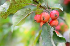 Green foliage bokeh background with bunch of red paradise apple. Green foliage bokeh background with bunch of paradise apple fruits stock image