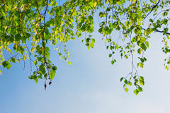 Green foliage branch and blue sky Stock Photos