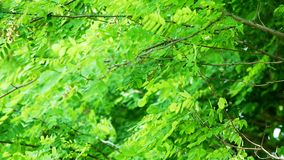 Green Foliage Branches tree closeup. Green Foliage Branches tree close up stock video footage