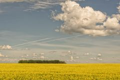 Green Foliage in a Canola Field Royalty Free Stock Photos