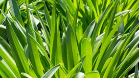 Green foliage close-up background. Green foliage texture close-up background Royalty Free Stock Image
