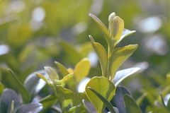 Green foliage close-up, with blurred background. macro photo. Green foliage close-up, with blurred background stock images