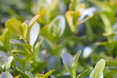 Green foliage close-up, with blurred background. macro photo. Green foliage close-up, with blurred background royalty free stock image