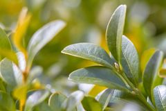 Green foliage close-up, with blurred background. macro photo. Green foliage close-up, with blurred background royalty free stock photography