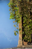 Green foliage covering a wooden door and a blue wall. Royalty Free Stock Images