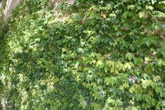 Green Foliage Creeping along a wall. Thick green vine variety shrub foliage creeping on the fence of a home Stock Photos
