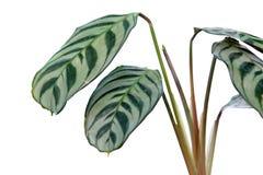 Foliage of Ctenanthe burle-marxii or fishbone prayer plant isolated on white background stock images