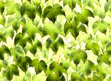 Green foliage of decorative ivy. Background of beautiful green leaves Stock Image