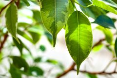 Green foliage of ficus bush stock images