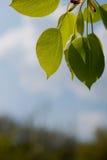 Green foliage Royalty Free Stock Image