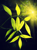 Green foliage glowing in sunlight Royalty Free Stock Images