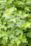 Green foliage on guelder-rose bush Stock Image