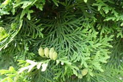 Green foliage and seed cones of Thuja occidentalis Royalty Free Stock Photos