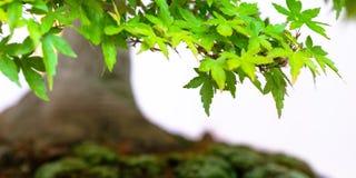 Green foliage japanese maple bonsai tree Acer palmatum. As close up royalty free stock images