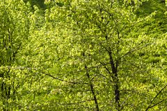 Green foliage of linden Royalty Free Stock Image