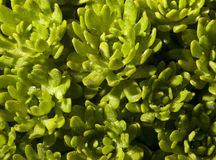 Green foliage, macro shot Royalty Free Stock Photo