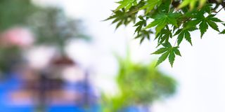 Green foliage maple bonsai tree Acer palmatum. With blurred background royalty free stock images