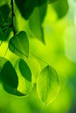 Green foliage in the morning sun beams Royalty Free Stock Image