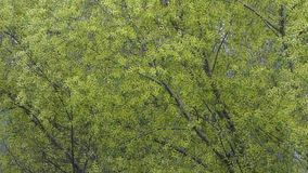 Green foliage moving on the wind. Natural abstract background. Cold sunny spring day. Big tree closeup view, lot amount of fresh leaves and branches stock video footage