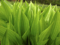 Green Foliage Of Plants Royalty Free Stock Photography