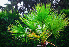 Green foliage of palm. Lush green foliage of palm on green leaves background stock image