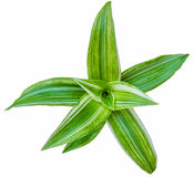 Green foliage plant on white background. Close up Stock Photos