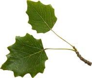 Green foliage of poplar. Isolated on white background Stock Photo