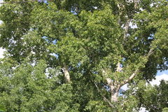 Green foliage of poplar, illuminated by the sun. Mid summer  Stock Images