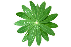 Green Foliage and rain drops isolated on white wit Royalty Free Stock Images