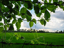 Green foliage and rice field Royalty Free Stock Photography