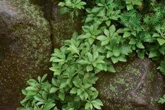 Green Foliage Among the Rocks Royalty Free Stock Photo