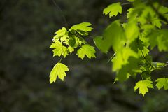 Green foliage on a spring day. Beautiful, harmonious forest detail, with hornbeam leaves. background with sunshine Stock Photo