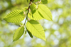Green foliage in springtime. Brunch of a hornbeam with fresh green leaves royalty free stock photo