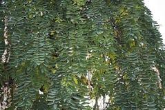 Styphnolobium japonicum pendula foliage. Green foliage of Styphnolobium japonicum pendula tree Stock Images