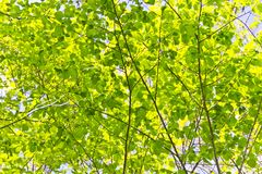 Green foliage with sun light. In summer day Royalty Free Stock Photos