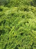Green foliage. Texture wallpaper walls background greens firry Stock Image