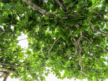 Green foliage in tree against the sky. Green foliage of tree against the sky in sunny and bright day Royalty Free Stock Images