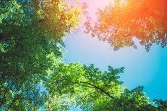 Green foliage of trees over sky. Nature background. Green foliage of trees over blue sky. Nature background stock images