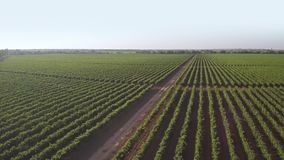 Green vineyard on a sunny day. aerial view stock video