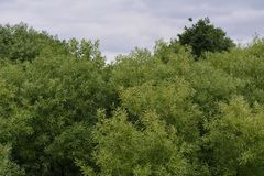 Green foliage of willow in overcast summer day royalty free stock photography