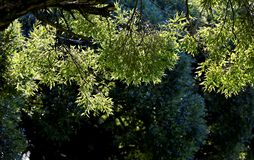 Green foliage of a willow tree. In autumn backlight royalty free stock photography