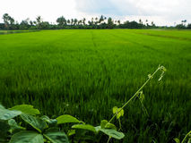 Green foliage young tip and rural rice field with trees silhouet Royalty Free Stock Photos