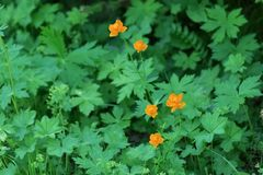 Green foliate background with orange flowers of globeflower Trollius in the forest. Wild plant. Summer landscape. Green foliate background with orange flowers of royalty free stock images